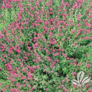 Pink Texas Skullcap