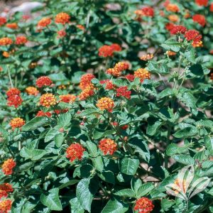 Dallas Red Lantana