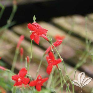 Brazilian Red Petunia