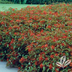 Compact Mexican Firebush