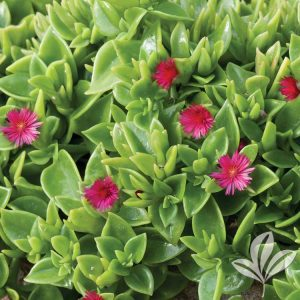 Heartleaf Ice Plant